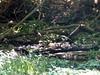 Rose Breatsed Broesbeak at Drip