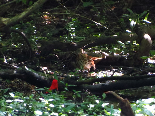 Brown Thrahser and Scarlet Tanager