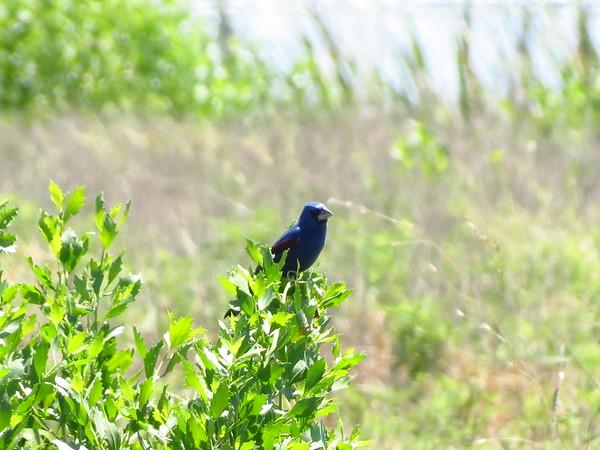 Blue Groesbeak