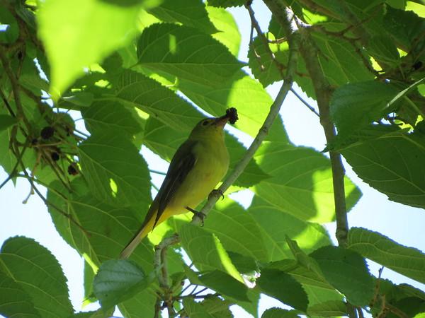 Female Scarlet Tanager?
