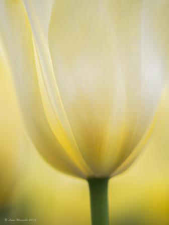 Cream Tulip