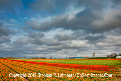 Tulip Fields Wide Angle Oil 20130416_2586