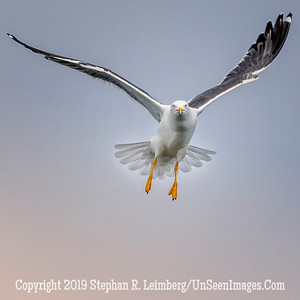 Seagull Headed Right Toward Me 20130424_0222