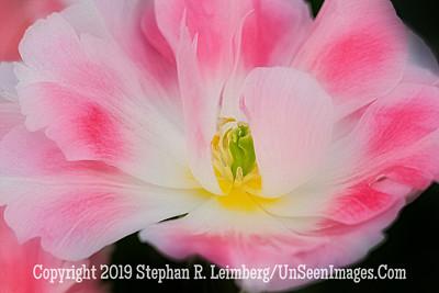Pink Splendor II x 20130418_3560