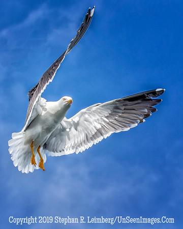 Seagull U Wings 20130424_0132
