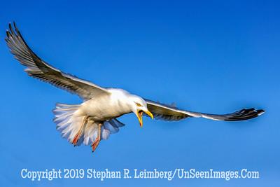 Screaming Seagull 20130429_0117