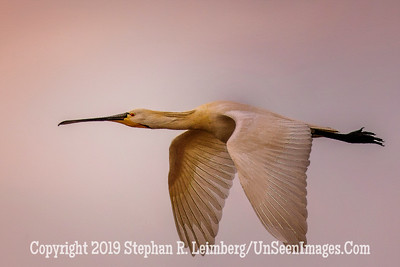 White Spoonbill in Flight  x 20130425_3418