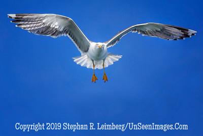 Sea Gull Heading Toward Me 20130424_0021