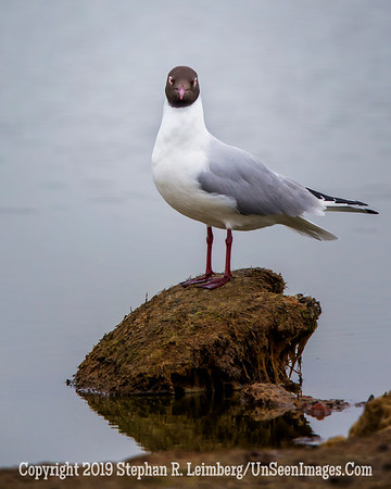 Seagull on Rock 20130425_3167