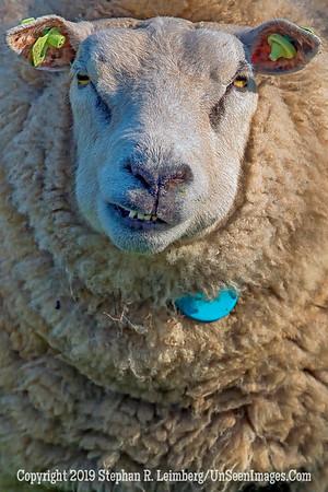 Sheep Straight On x_L8I9975