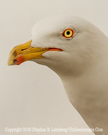 Seagull Head Up Close Oil 20130427_9928