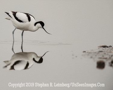 No Eye Avocet 20130425_2023