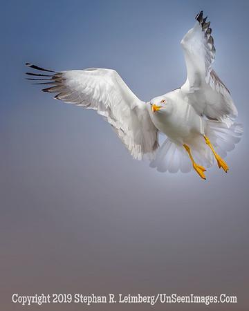 Seagull U Wings II 20130424_0146