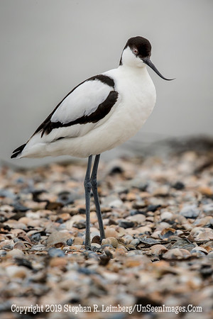 Avocet Walking 20130426_4080