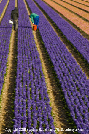 Checking Tulips in Field 20130418_4174_orig