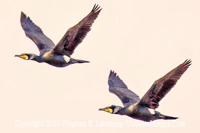 Two Birds in Flight 20130425_3626