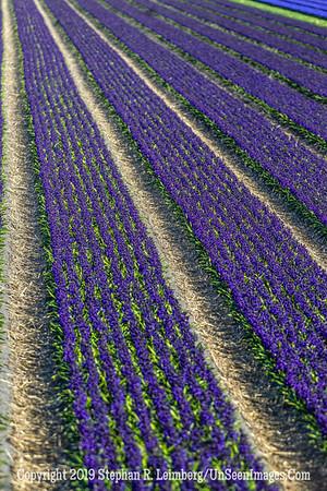 Tulip Field Blur 20130418_4126