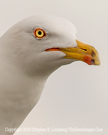 Seagull Head Up Close 20130427_9928