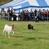 Sheepdog demonstration
