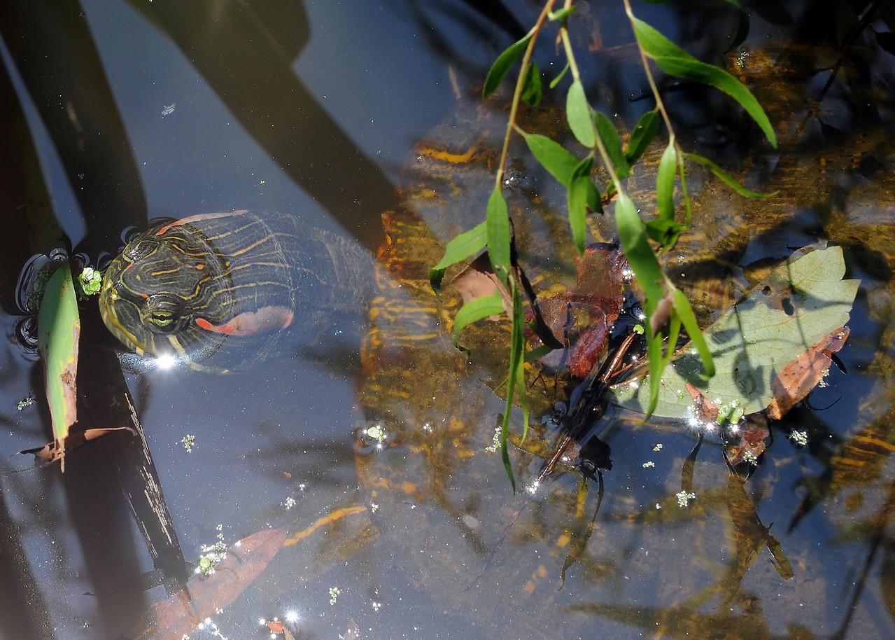 Turtle at Armand Bayou Nature Center