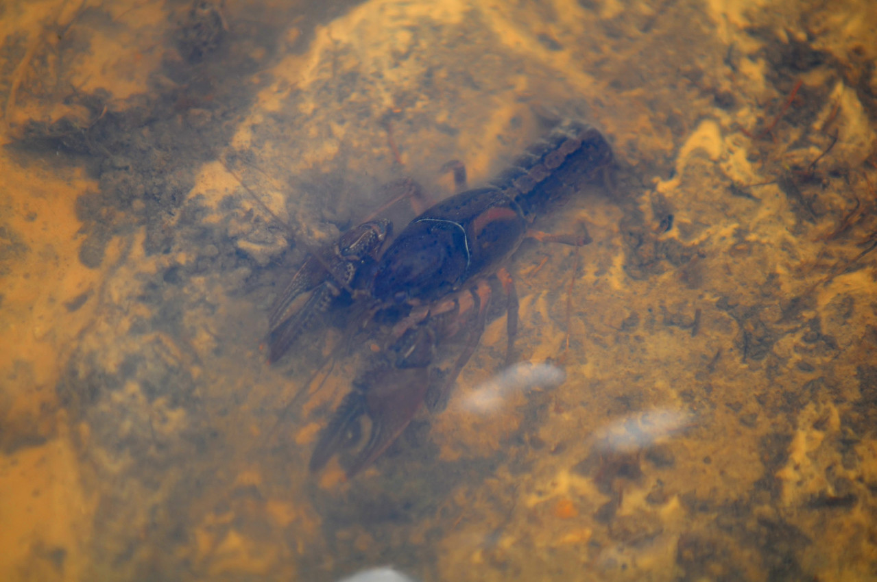 Crayfish on flooded trails at Butterfly at Armand Bayou Nature Center