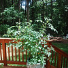 This monster cherry tomato plant loves the warmth radiating off the porch.  Sweet 100's here we come!