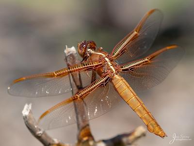 Flame Skimmer Dragonfly (female)