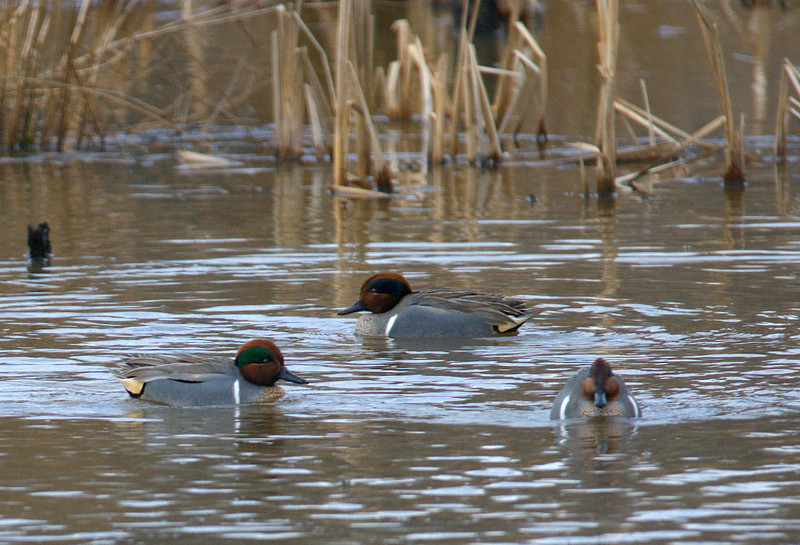 Greenwinged Teal Males