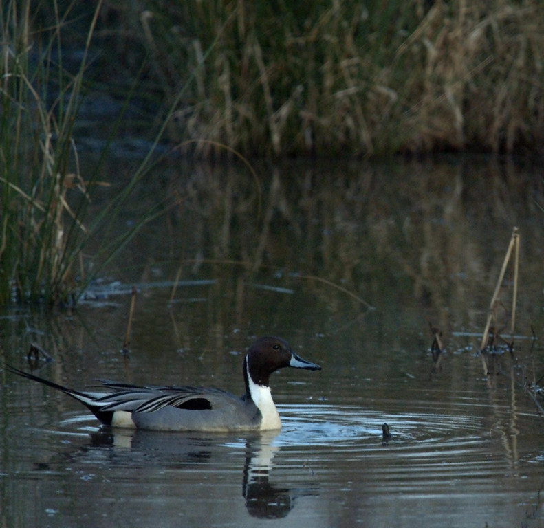 Northern Pintail, February 2008
