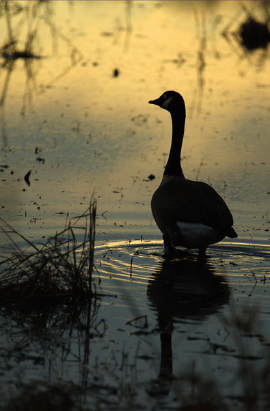 Canadian Goose at Duck, Huntley Meadows, Alexandria, VA, 2007