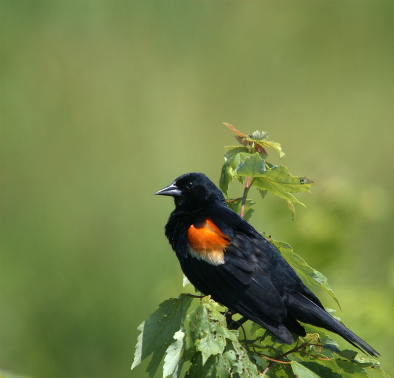 Redwing Blackbird, Huntley Meadows, Alexandria, Virginia, 2007