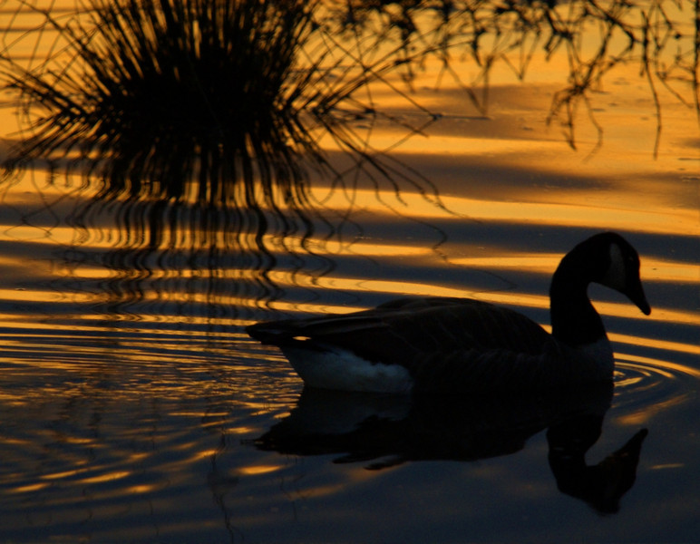 Canada Goose at Sunset, Huntley Meadows, Alexandria, VA, 2008