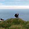 A pair of puffins at the Latrabrag cliffs in south-western tip of the Westfjords of Iceland