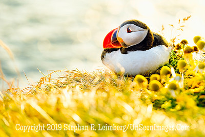 Puffin Copyright 2019 Steve Leimberg UnSeenImages Com _DSF5853