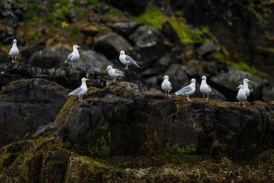 Perching on Cliff  Iceland Copyright 2021 Steve Leimberg UnSeenImages Com _DSC4518 copy