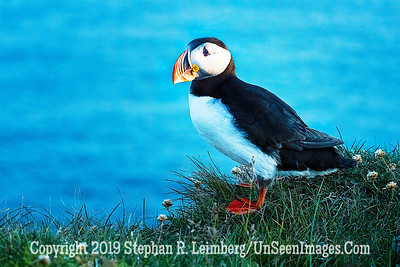 Puffin Copyright 2019 Steve Leimberg UnSeenImages Com _DSF5964