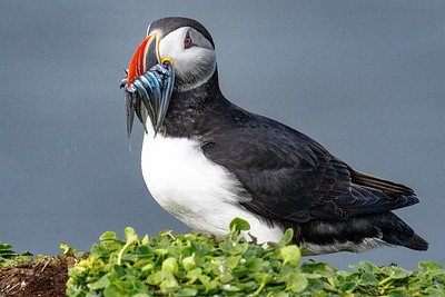 Puffin with Fish Copyright 2021 Steve Leimberg UnSeenImages Com _DSC4038 copy