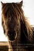 Icelandic Horse - Copyright 2017 Steve Leimberg - UnSeenImages Com _DSC8495