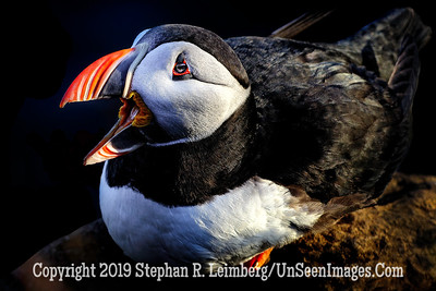 Puffin Copyright 2019 Steve Leimberg UnSeenImages Com _DSF5683