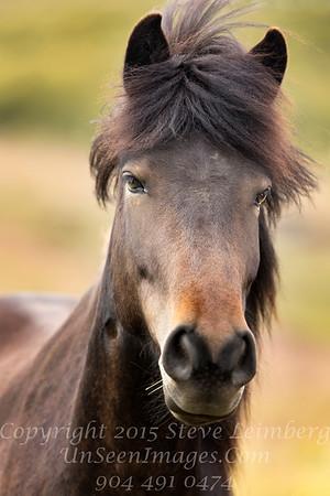 Icelandic Horse - Copyright 2017 Steve Leimberg - UnSeenImages Com _Z2A0744