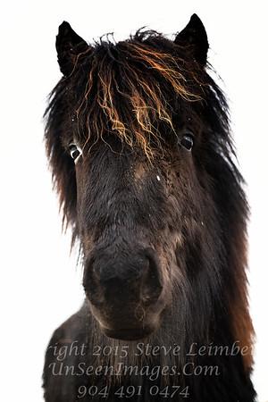 Icelandic Horse - Copyright 2017 Steve Leimberg - UnSeenImages Com _DSC8390-1