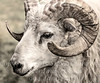 Ram in Iceland - B&W Copyright 2015 Steve Leimberg - UnSeenImages Com _Z2A2477
