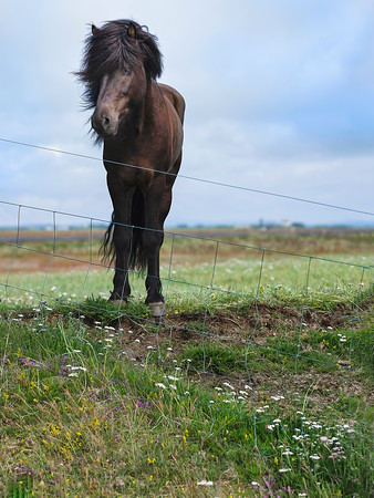 Horse in Iceland Copyright 2021 Steve Leimberg UnSeenImages Com _DSF0577
