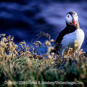 Puffin Copyright 2019 Steve Leimberg UnSeenImages Com _DSF5599