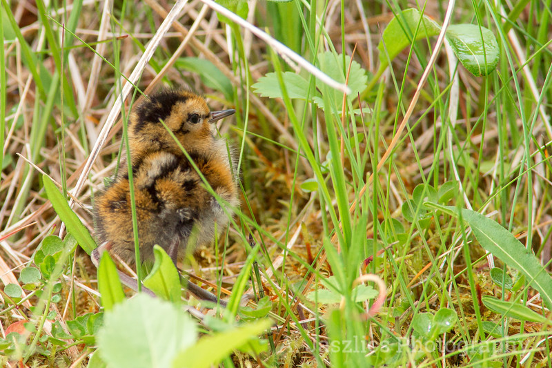 Red-Necked Phalarope Chick