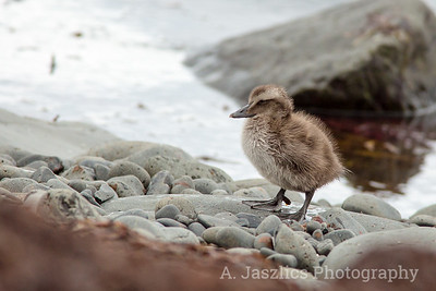 Common Eider Duckling