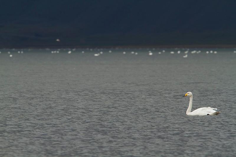 Cisne cantor<br /> Cygnus cygnus<br /> Whooper swan
