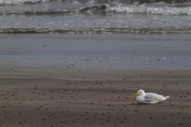 Glaucous Gull (Gavión hiperbóreo, Larus hyperboreus) resting on the sandy intertidal at Olafsvik