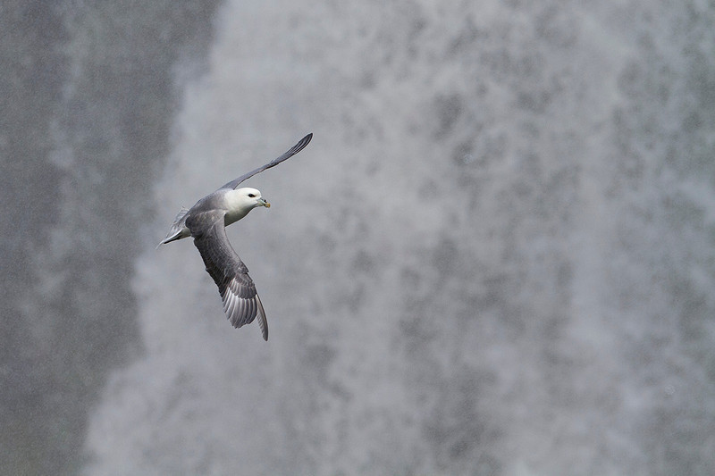 Fulmar flying in a waterfall (Iceland)