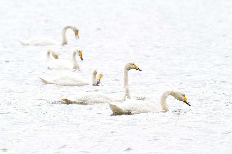 Vanishing whooper swans (high key)